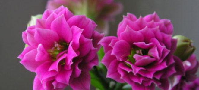 Цветущий каланхоэ: особенности ухода