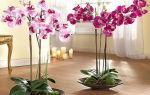Орхидея фаленопсис: уход, цветение, пересадка и размножение