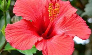 Комнатный гибискус: уход, пересадка, размножение, цветение