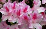 Азалия не цветёт. Желтеют, сохнут, вянут, чернеют листья и бутоны что делать?