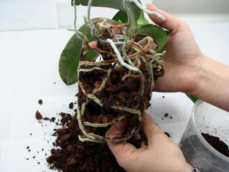 Достаём орхидею из горшка