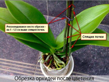 Обрезка орхидей в домашних условиях
