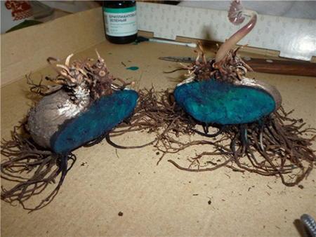 Размножение делением клубня