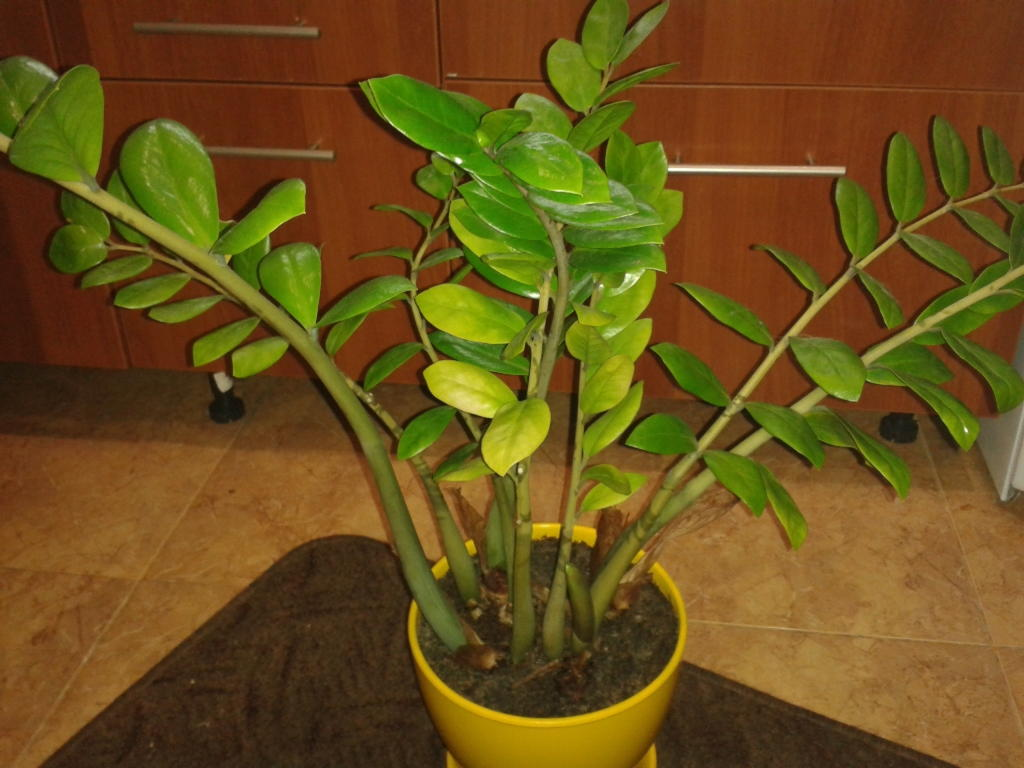 Почему у растения замиокулькас желтеют листья