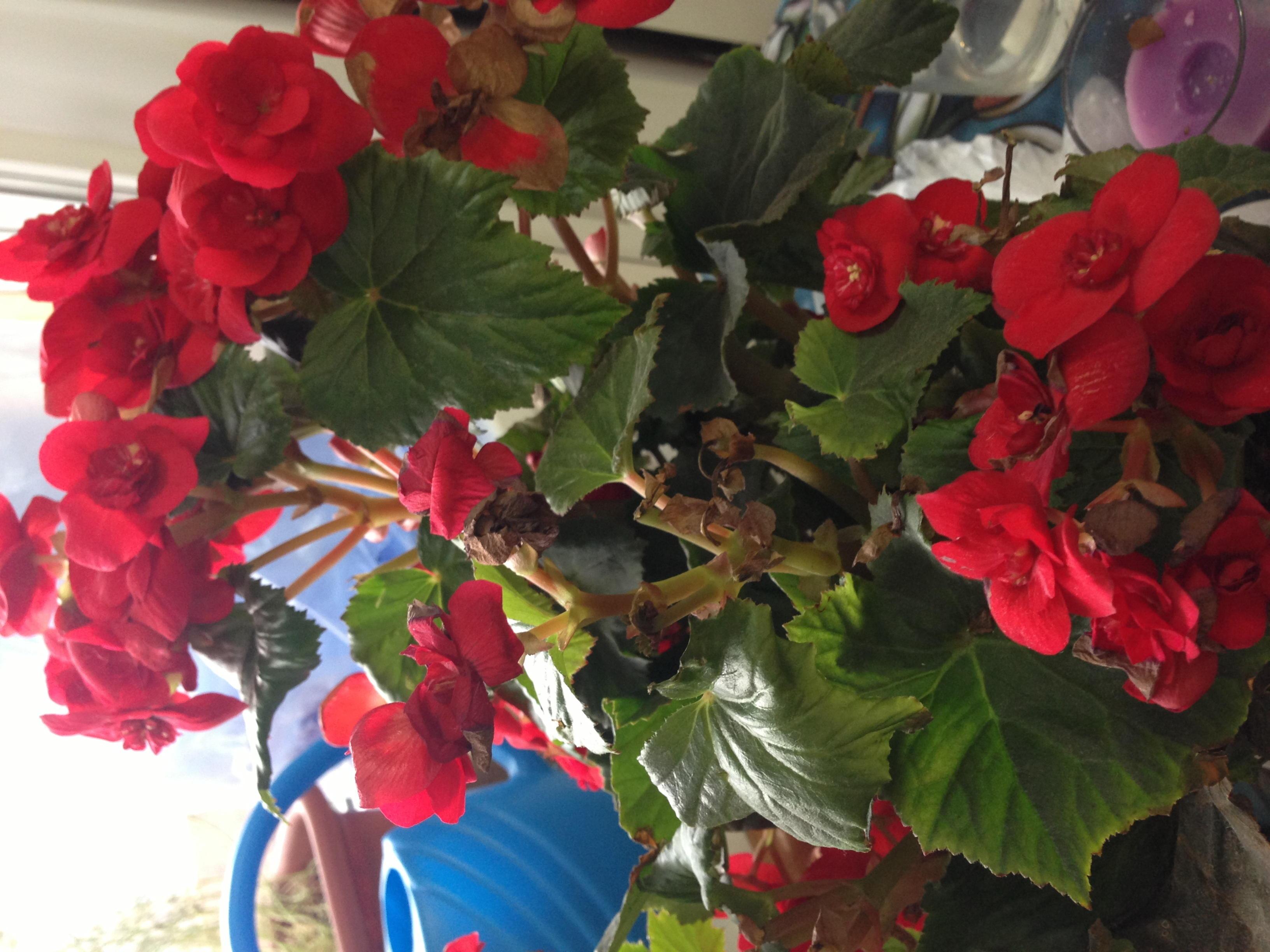 бегонии клубневой выращивание в саду