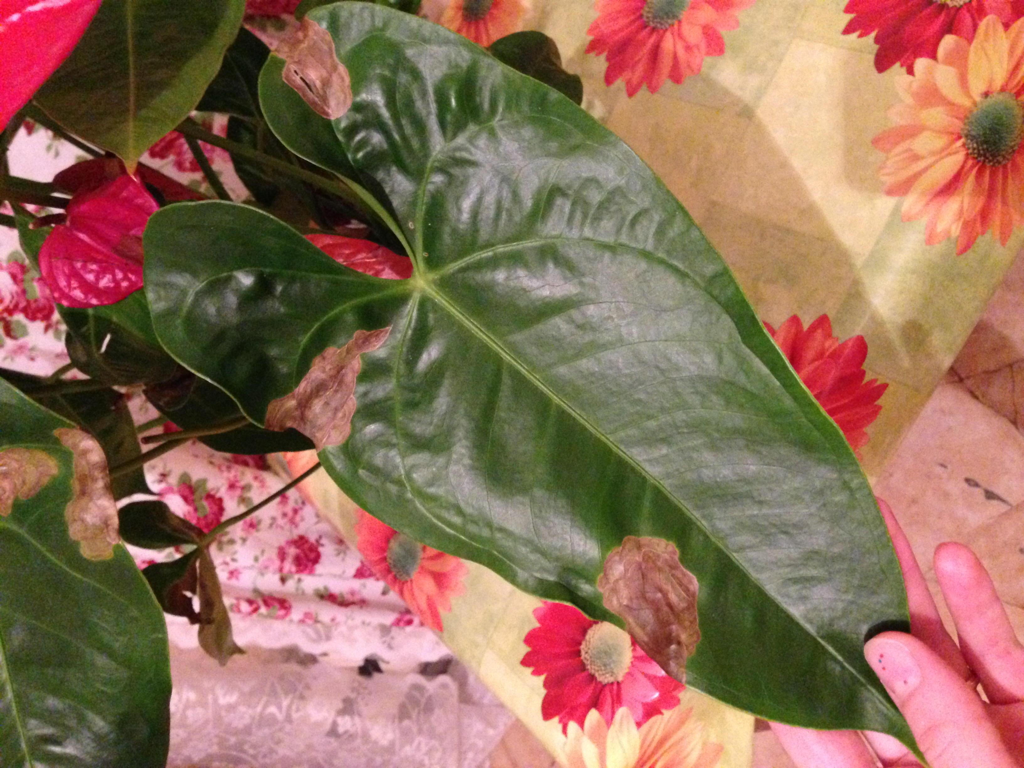 Как лечить болезни у антуриума, почему желтеют или сохнут листья и что 9