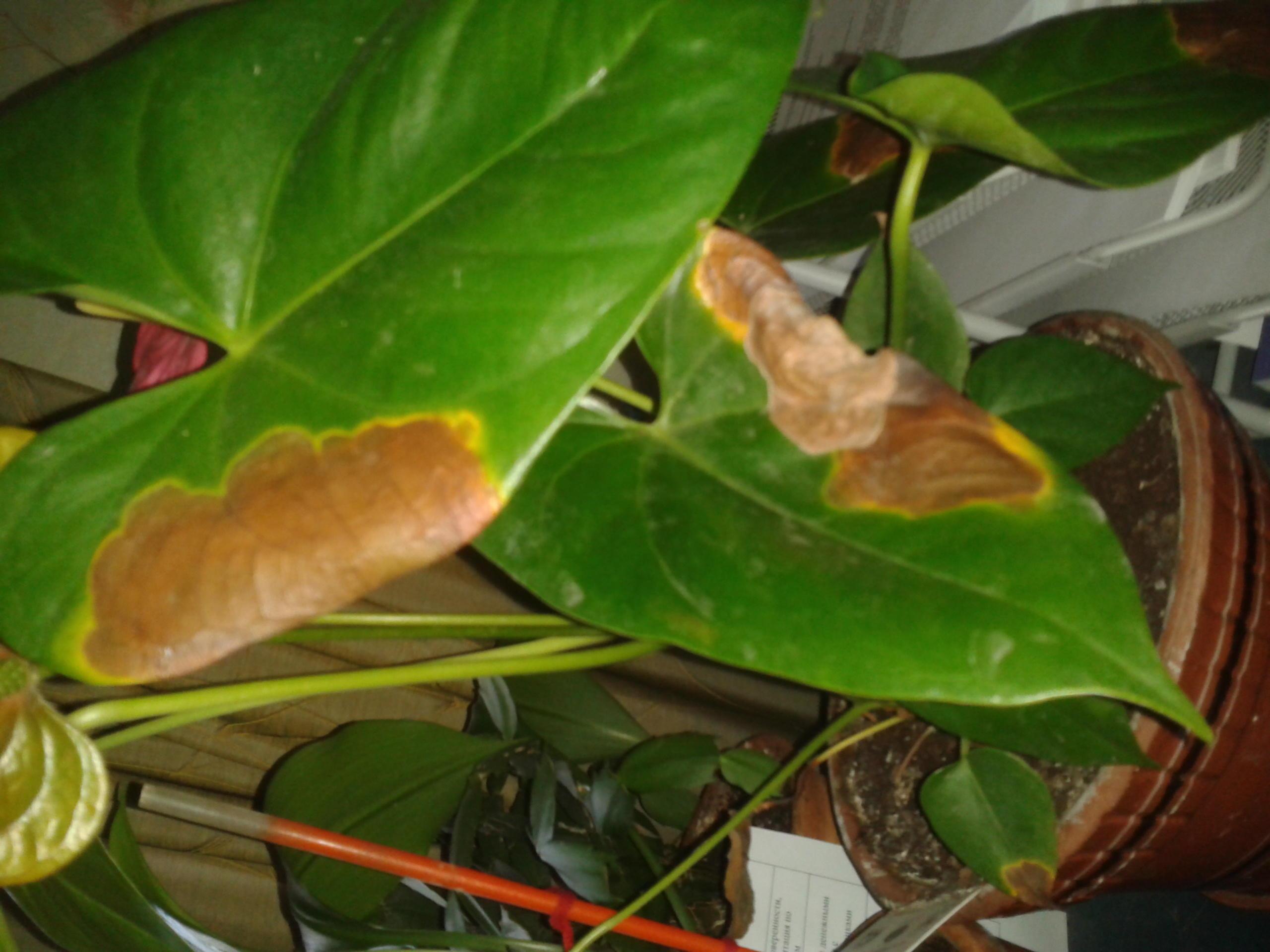 Почему у антуриума сохнут кончики листьев