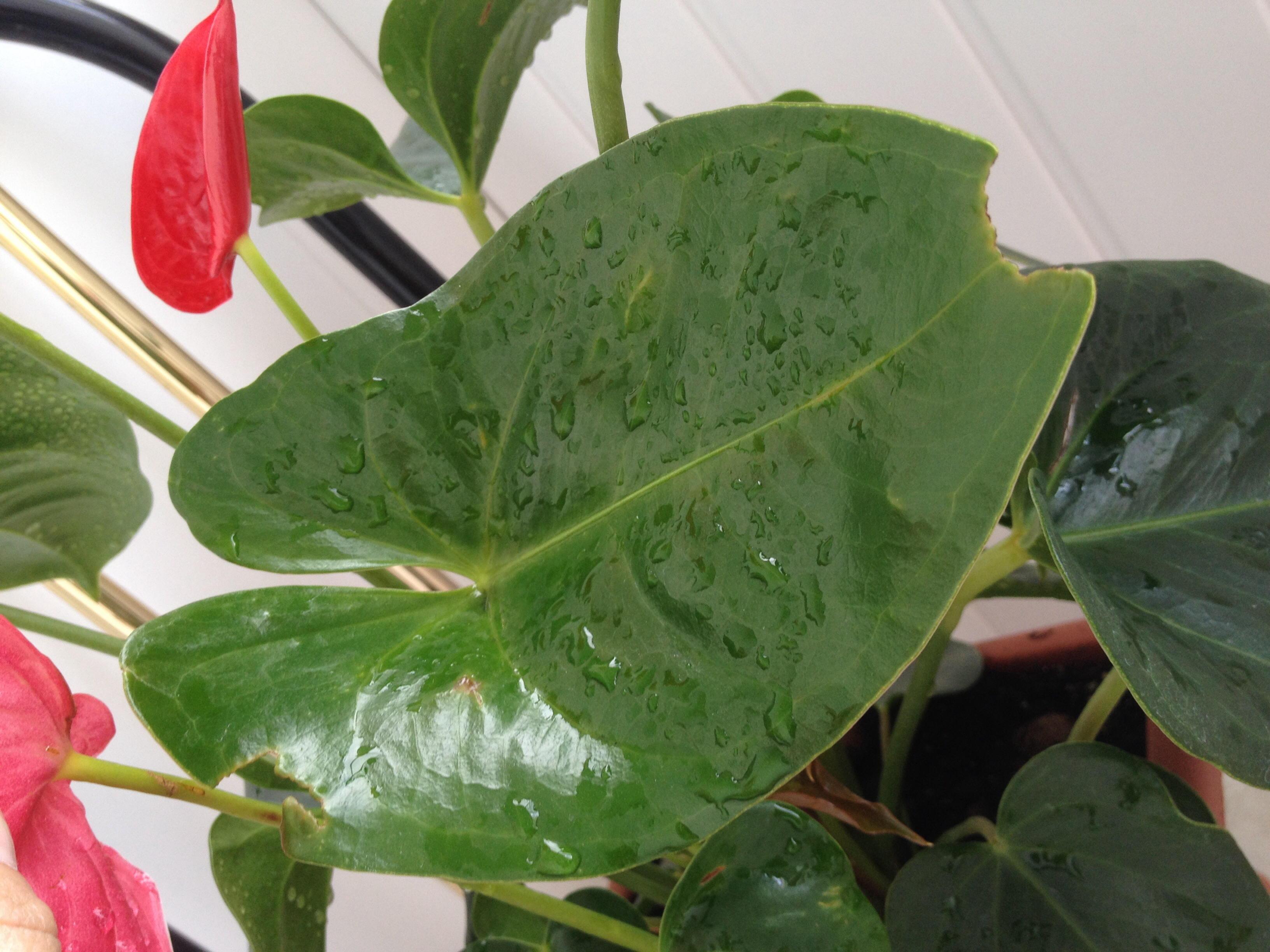 Антуриум почему чернеют листья как лечить