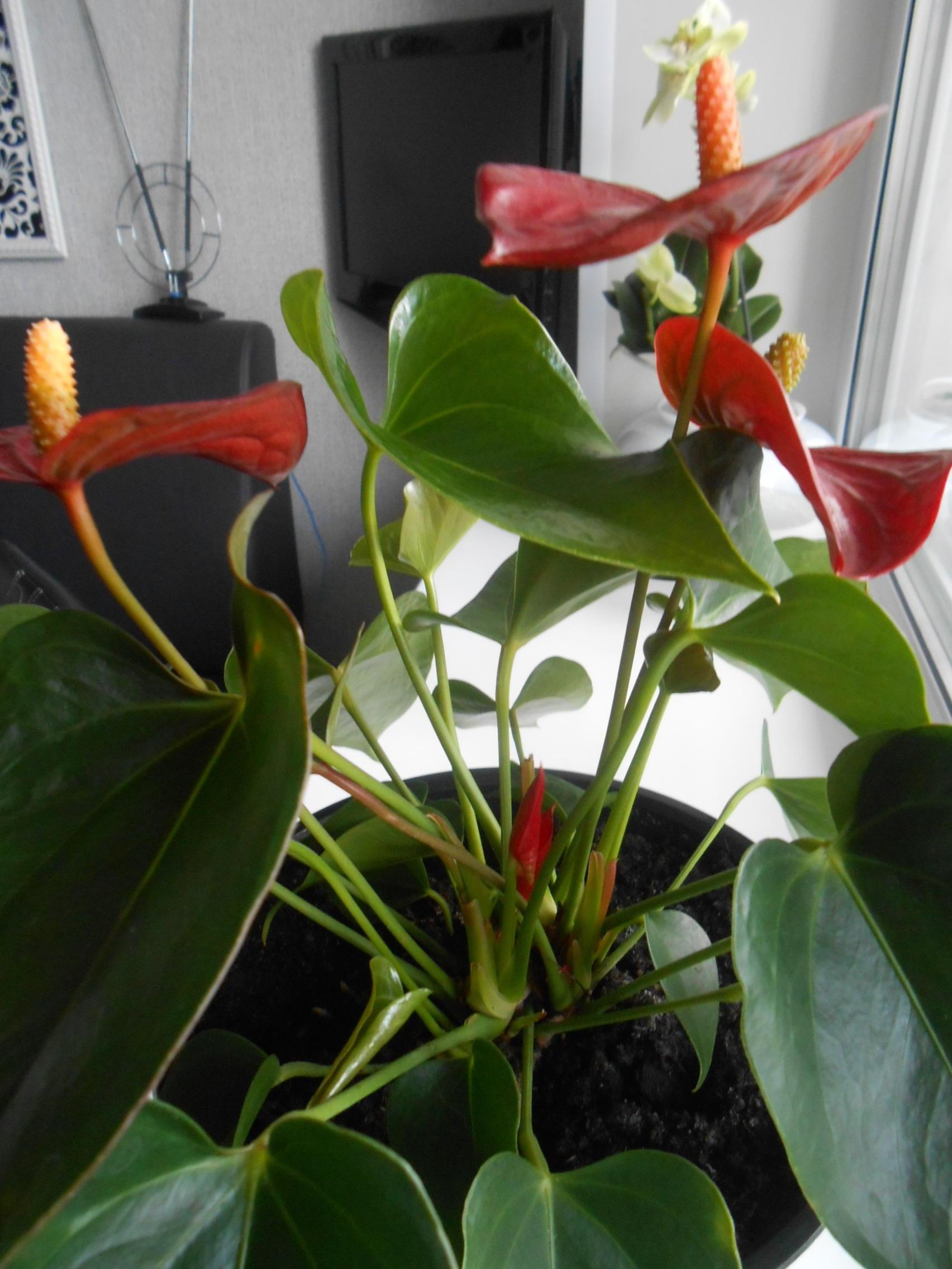 Антуриум покраснели листья дырки в листьях
