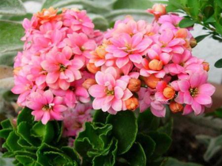 Часто задаваемые вопросы по выращиванию цветущего каланхоэ