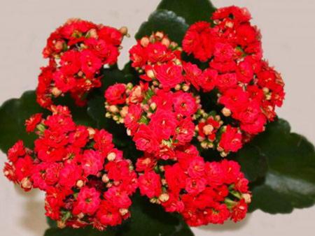 Период цветения каланхоэ