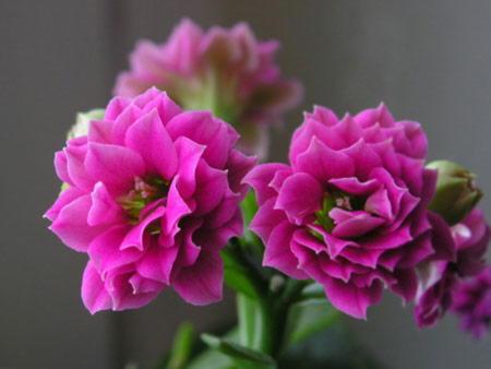 Цветущий каланхоэ