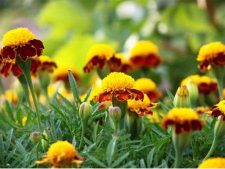 Частые вопросы по выращиванию бархатцев