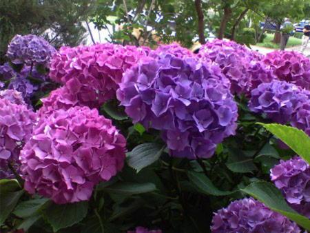 Гортензии время цветения