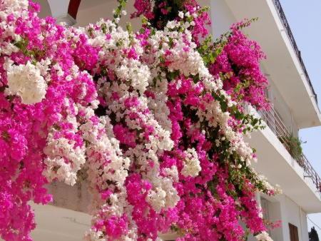 Частые вопросы по выращиванию бугенвиллии