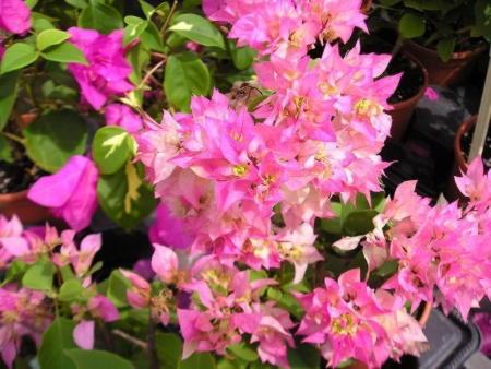 Цветение и зимовка бугенвиллии