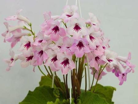 Цветение стрептокарпуса
