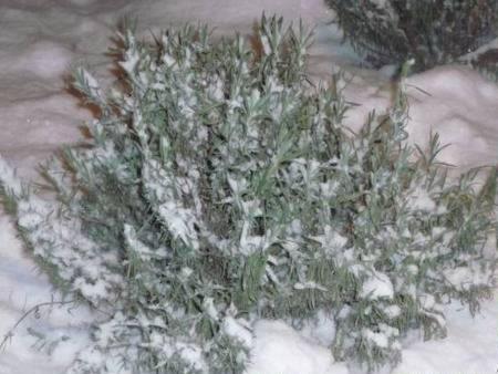 Лаванда - зимовка