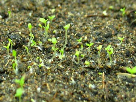 Петуния - выращивание из семян