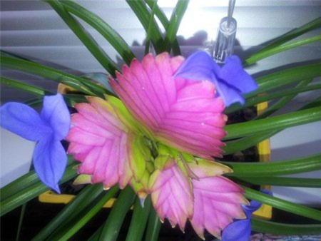 Цветение тилландсии