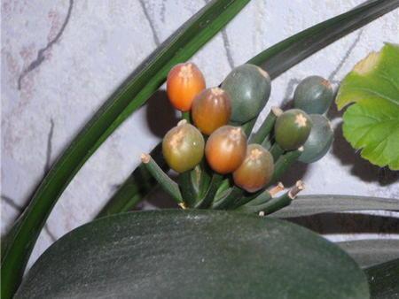 Вегетативное размножение кливии