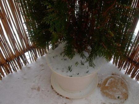 Зимовка крокусов