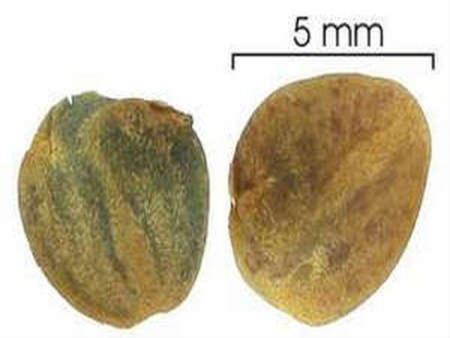 Размножение афеландры семенами
