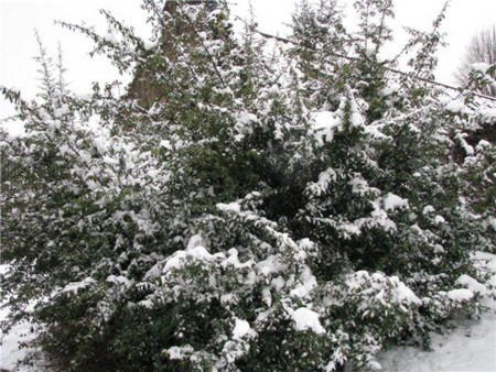 Зимовка бересклета