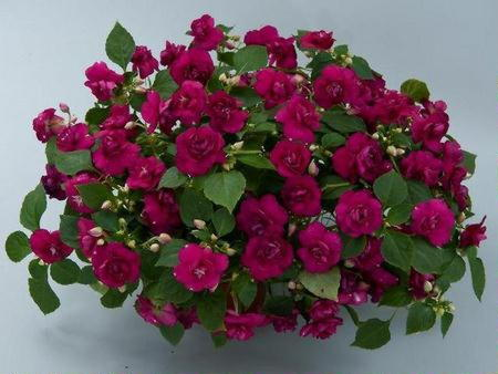 Цветок бальзамин виды фото