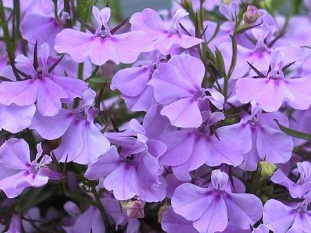 Лобелия цветение