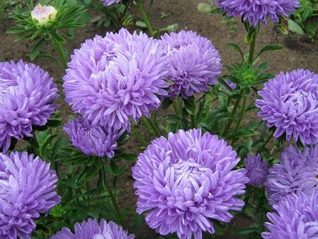 Астра цветение
