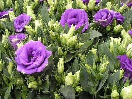 Цветение фиолетовых эустом