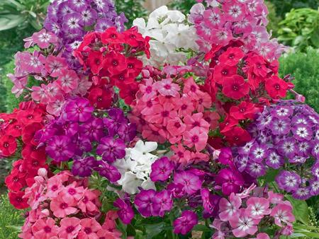 Флокс цветение и размножение