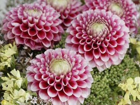 Георгин цветение