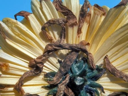 Болезни и вредители у хризантем