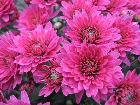 Цветение хризантем