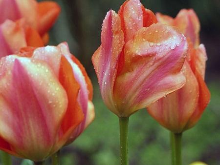 Тюльпаны выгонка